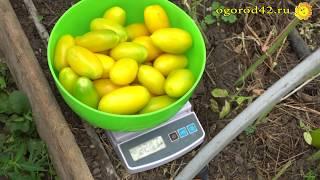 Интересный опыт выращивание томатов по методу А.К. Попова