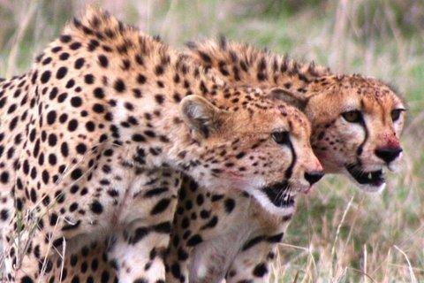 Cheetah vs Hyena (w/ kill)