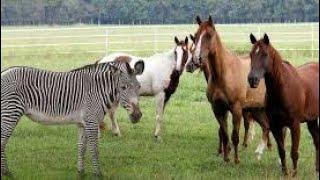 Zebra first time xmeeting new video2020
