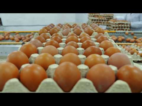 Laying Hens Management In Conventional Cages