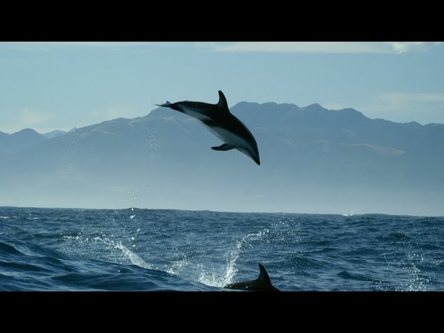 Dolphin acrobatics – New Zealand: Earth's Mythical Islands – Episode 1 Preview – BBC Two