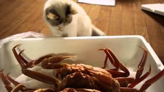 面白い 映像 日本、面白い 動物 :おもしろ:ねこVSかに。 面白い 映...