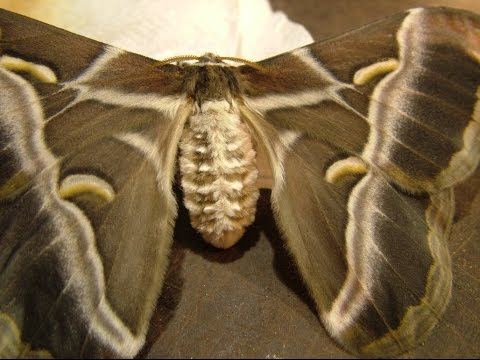Samia ricini - The silkmoth has emerged from the cocoon