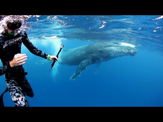 Swim with Humpback Whales in Tonga!