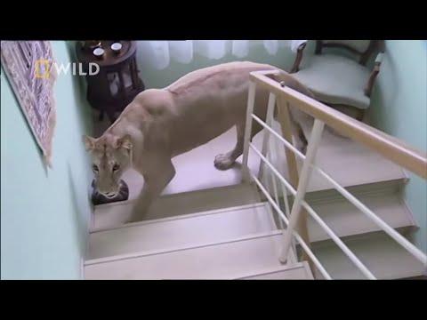 Lwica zaatakowała człowieka dla zabawy! [Zwierzaki w amoku]