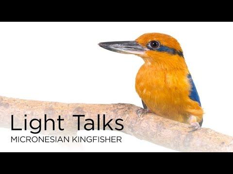 Light Talks: Micronesian Kingfisher