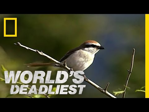 Butchering Bird | World's Deadliest