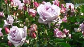 道の駅みなまたのバラ園(Spring Roses 2013 in Minamata city, Kumamoto)