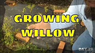 growing willow from cuttings