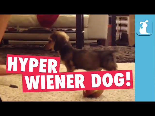 LOL: Wiener Dog Puppy Gets So Hyper!