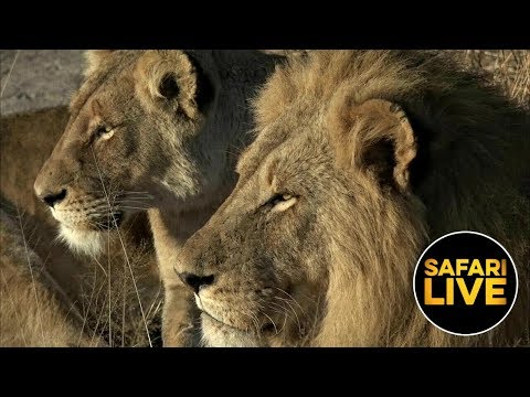 safariLIVE - Sunrise Safari - August 22, 2019