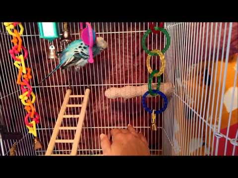 How To Care For Your New Budgie Part 3: Gaining Trust