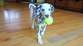 Puppy Dalmatian First Time Playing Fetch