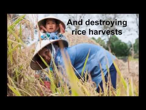Climate-proofing rice farming in Vietnam