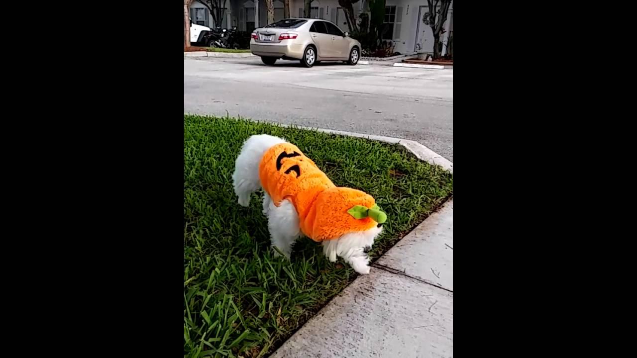 cute maltese puppy halloween costumes