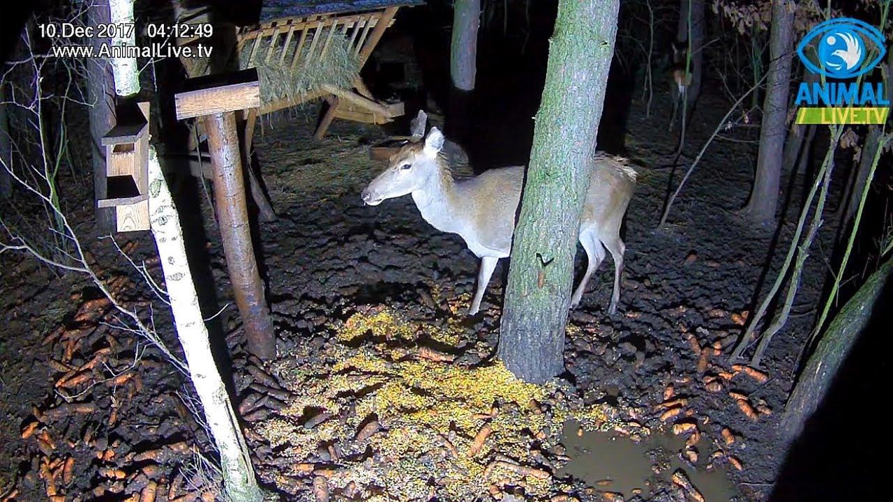 🦌 Piękne łanie w karmisku w lesie na Podkarpaciu ...