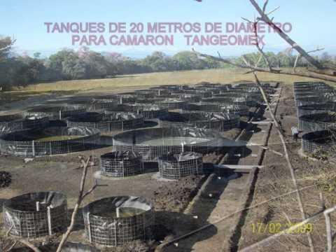 Tanques en geomembrana tilapia roja doovi for Tanques para cachamas