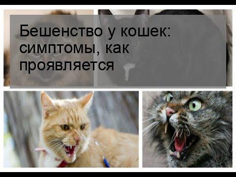 Бешенство у кошек: симптомы, как проявляется