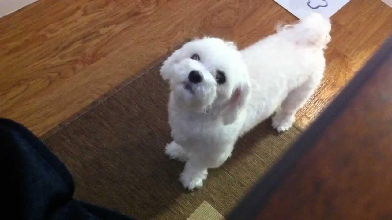 Maltese Dog Begging For Food - YouTube