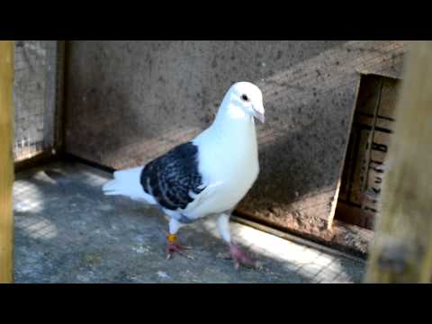 Pigeons Cooing