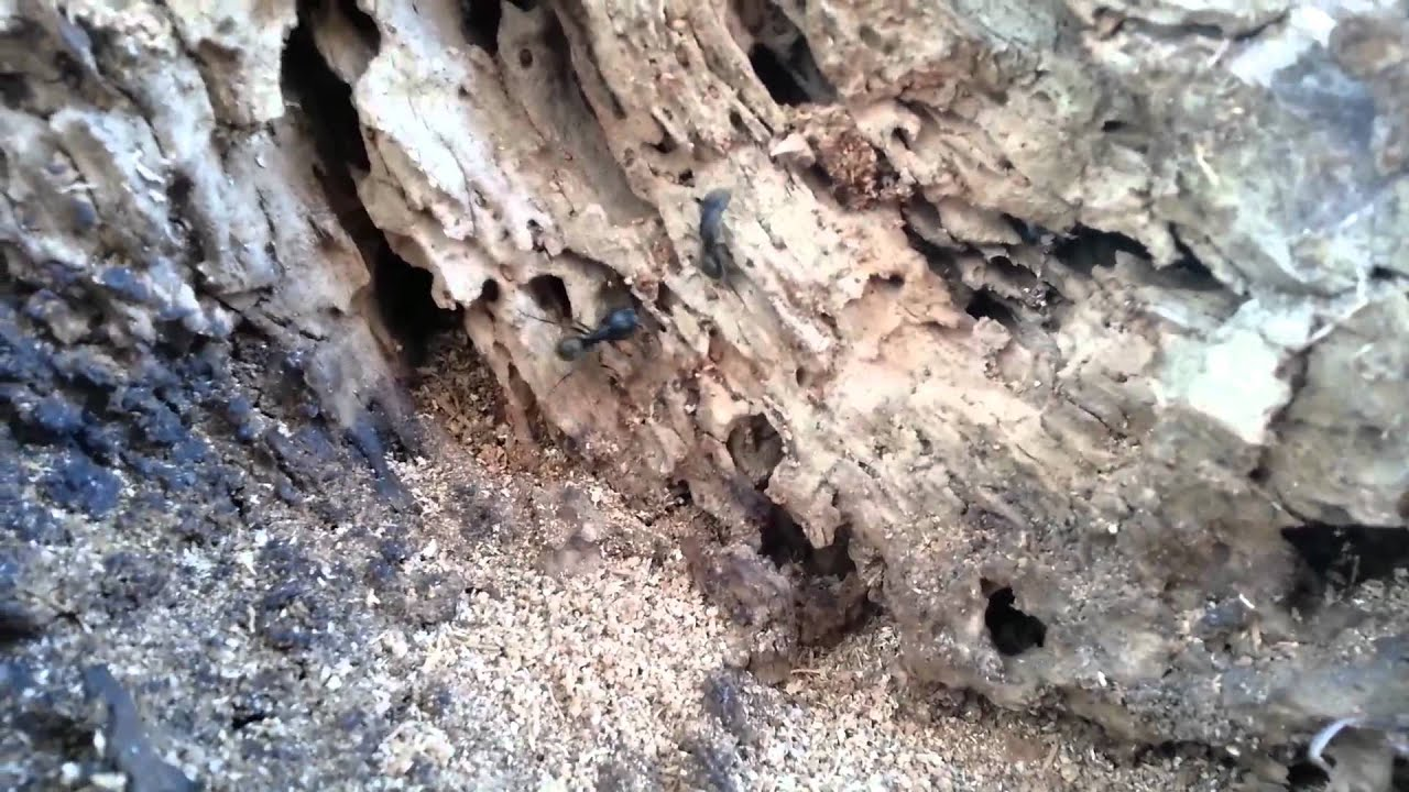 how to kill carpenter ants in a live tree