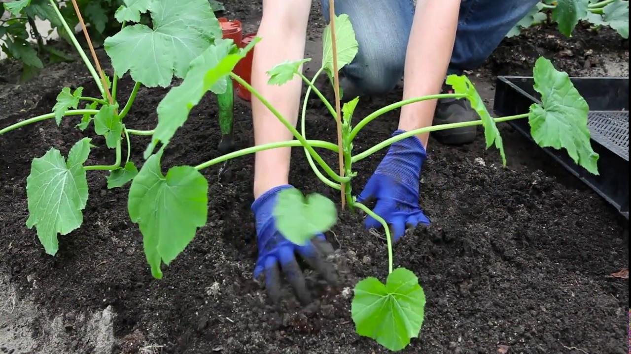 Super Zucchini - Einpflanzen ins Gemüsebeet - YouTube &RK_29