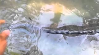 Bắt được cá lóc khủng ở Bạc Liêu  nặng đến 8kg