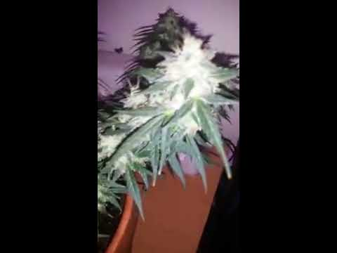 Critical purple autoflower Growers Choice Seeds 10 weeks!