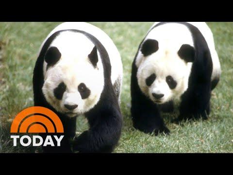 How 'Panda Diplomacy' Has Affected US-China Relationship