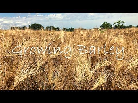 Growing Barley