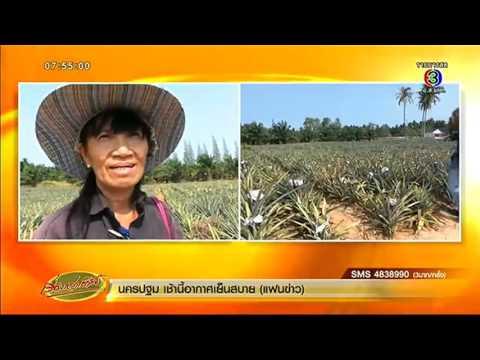 เรื่องเล่าเช้านี้ เกษตรกรโอดมือดีบุกขโมยสับปะรดคาไร่ สูญกว่า 1.5 ตัน (22 เม.ย.59)