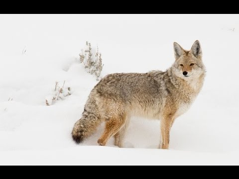 Winter Safari in Yellowstone -  Coyote, fox and wolf