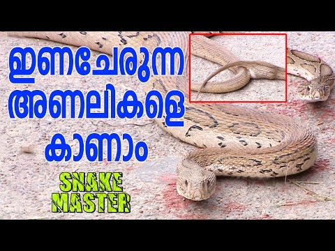 Wow !  Mating Russell's Viper & Baby Cobra | Snake Master
