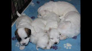 Coton de Tulear Puppies For Sale - Ireland 5/10/21