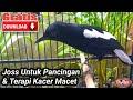 Suara Burung Kacer Gacor Untuk Pancingan  Mp3 - Mp4 Download