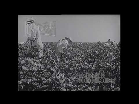 1940s Labor Picking cotton-Stock Footage, HD