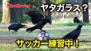 野鳥撮影・ 野鳥動画・サッカーで遊ぶ「カラス」 Carrion crow