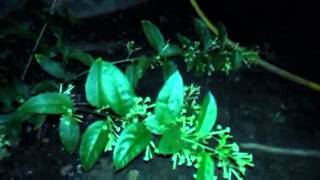 Night blooming jasmine plant/shrub