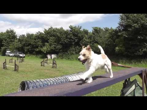 Olly the Jack Russell - Training