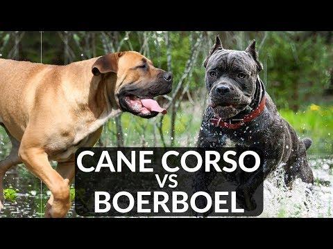 Cane Corso vs Boerboel
