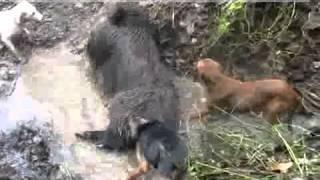 Psy myśliwskie zagryzają postrzelonego Dzika.