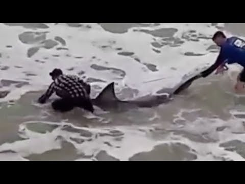 GREAT WHITE SHARK CAUGHT IN NAVARRE, FLORIDA