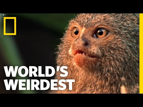 Smallest Monkey Turf War | World's Weirdest