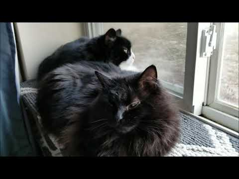 Norwegian Forest Cat & Domestic Long Hair