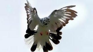 Pigeons Nikolaevskie (Clip 3) / Голуби Николаевские (Клип 3)