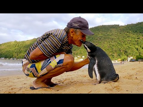 Jinjing The Penguin – Swims 5000 Miles Every Year To Visit The Man Who Saved Him