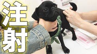 黒パグのパグ男です。 産まれて5ヶ月の子犬です。 パグ男、2回目の注射...