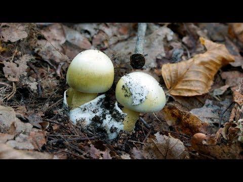 Бледная поганка (Amanita phalloides) - смертельно ядовитый гриб!