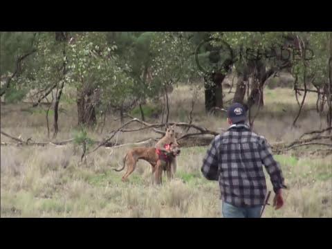 Kanguruya yumruk atan adam (çenesini kırdı)