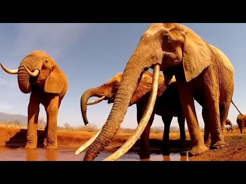 พญาช้างป่าแอฟริกา